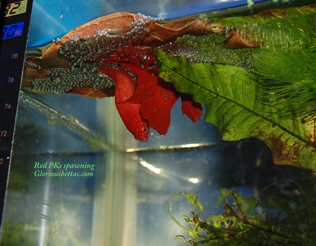 Gloriousbettas betta fish betta splendens wild betta for Wild betta fish
